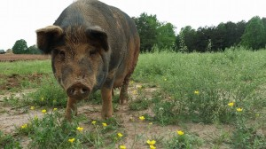 Hog heaven at Wild Turkey Farm in China Grove, NC